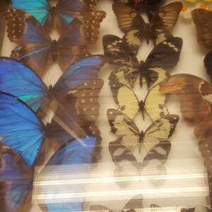 photo of a lab move conducted by BTI of a rare butterfly collection